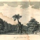 Photo: Illustrative image for the 'The Greendale Oak' page