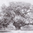 Photo:The Major Oak in 1903