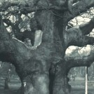 Photo:The Major Oak in 1905
