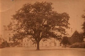 Photo:The 'Byron Oak' on the south lawn at Newstead Abbey in c.1905