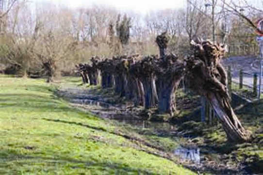 Photo:A  row of newly pollarded willows
