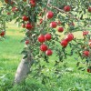 Page link: [Nottingham] St Anns Allotments Apple Day
