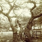 Photo: Illustrative image for the 'The Parliament Oak' page