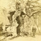 Photo: Illustrative image for the 'The 'Shambles Oak' or 'Robin Hood's Larder'' page