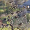Page link: Where Have all the Sparrows Gone?